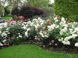 rose bed pictures of flower beds photos design for garden flower beds