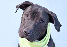 boxer dog breeders near me misjudging mixed breeds stubbydog