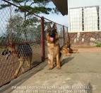 <b>Chó</b> - Trại <b>Becgie</b> (GSD) Đức ROBIN HILL