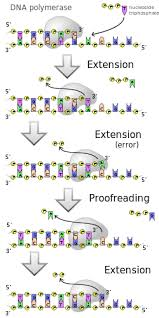 dna replication wikipedia