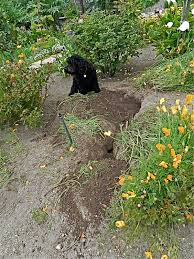 gophers gophers everywhere central coast gardening