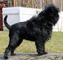 affenpinscher dogs for sale affenpinscher dog breeders with puppies dogs for sale