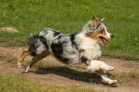 c me australian shepherds the 15 best dog breeds for running livestrong com