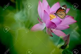 butterfly on flower lotus stock photo picture and royalty free