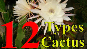 cactus plants 12 types of cactus you can grow at home youtube