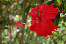gumamela ang malayang ensiklopedya
