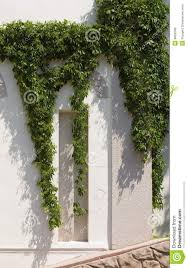 wild vine climbing the wall of a house royalty free stock photos