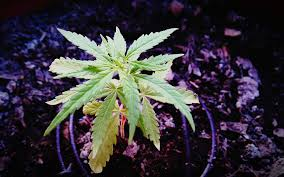 Recovering Cannabis Plants From High by Grow Q U0026a Should I Veg My Pot Plants Under 24 Hours Of Light