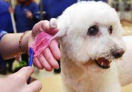 cost of a bichon frise pet owners pay groomers to paint their pooches ny daily news