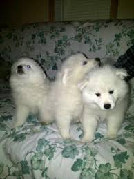 american eskimo dog black 99 best miniature american eskimo dogs images on pinterest