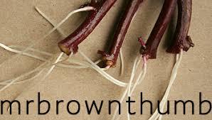 ornamental sweet potato vine roots mrbrownthumb
