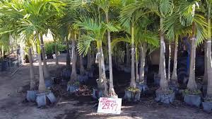 a tour of the front half of ken s palm trees in st petersburg