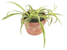 spider plants how to grow and care for spider plants the old