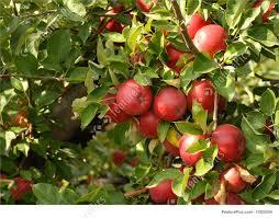 apples on tree image