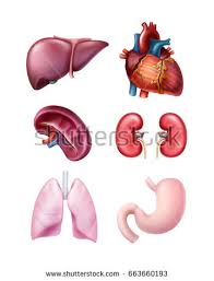 Human Anatomy Liver And Kidneys Human Anatomy Organs Heart Stomach Kidneys Stock Vector 627684590