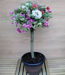 Bougainvillea Topiary - how to graft bougainvillea in a few minutes you can have a few