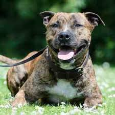 american pit bull terrier brindle american staffordshire terrier dog breed information
