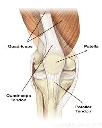 Picture Of Human Knee Muscles Muscles2 Gif