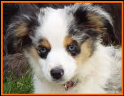 australian shepherd 14 weeks blue eyed blue merle miniature toy australian shepherd flocks