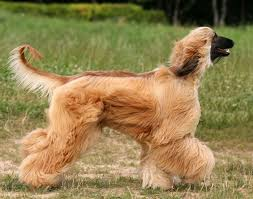 afghan hound judging list afghan hound lévrier afghan pinterest dogs dog breeds and