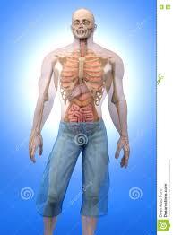 Male Internal Organs Anatomy Human Anatomy Visualization Internal Organs Stock Illustration