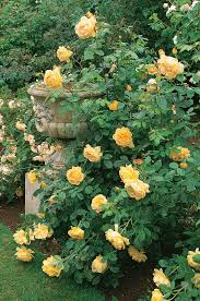 pacific horticulture society david austin u0027s english roses for