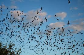 bats in tucson pima county public library