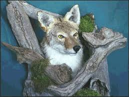 Can Coyotes See Red Light 19 Best Coyote Mount Images On Pinterest Coyotes Taxidermy And