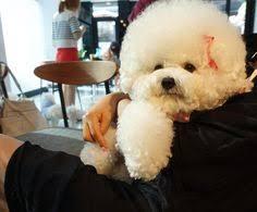 bichon frise meme cute tori bichon frise and tea cup poodle