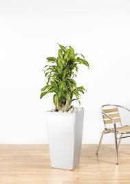 dracaena fragrans u0027massangeana u0027 branching 3 the green office