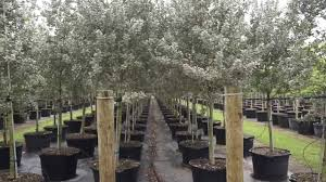 silver buttonwood treeworld wholesale homestead florida trees