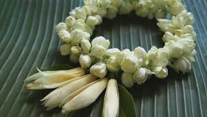 Jasmine Flowers What Is The Meaning Of The Jasmine Flower Synonym