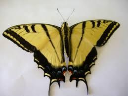 green swallowtail caterpillars to black and yellow butterflies