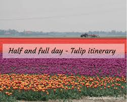 Netherlands Tulip Fields Tulip Day Itinerary Half Day And Full Day Tulips In Holland