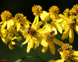 native plants for bees honey bees