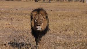 dentist wanted killing cecil lion cnn