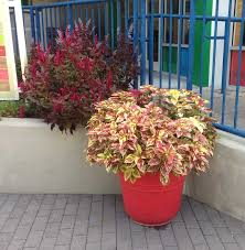 Flower Pot Arrangements For The Patio How To Grow The Colorful Coleus Plant Indoors And Out