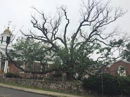 600 year new jersey oak tree is dying nj