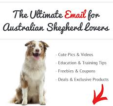 lifespan of australian shepherd pros and cons of australian shepherds see what real australian