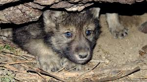 earth wolves great foster parents