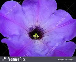 petunia flowers flowers petunia flower stock picture i3028997 at featurepics