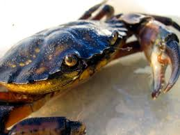 multimedia gallery european green crab nsf national science