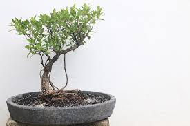 miniature trees grown in seychelles part of japanese of