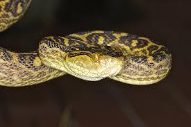 pit viper genome reveals evolution of snake venom