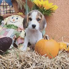 meet blue s new beagle puppy 96 fm