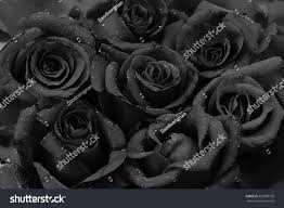 black roses black roses flower background water drops stock photo 359398100
