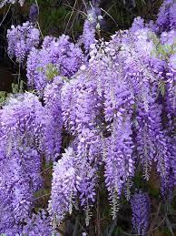 Climbing Plants That Flower All Year - wisteria wikipedia