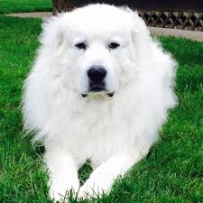 great pyrenees rescue provides wonderful dogs to good homes great pyrenees rescue society gprs home facebook