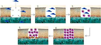 Tissue Renewal Regeneration And Repair Is The Articular Cartilage Regeneration Approachable Through