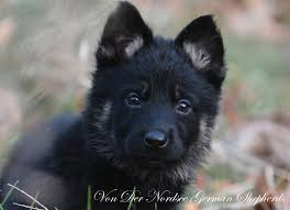 belgian shepherd kennels german shepherd puppy breeder ma german shepherd dog training